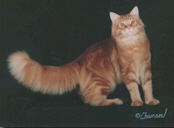 Red Tabby male